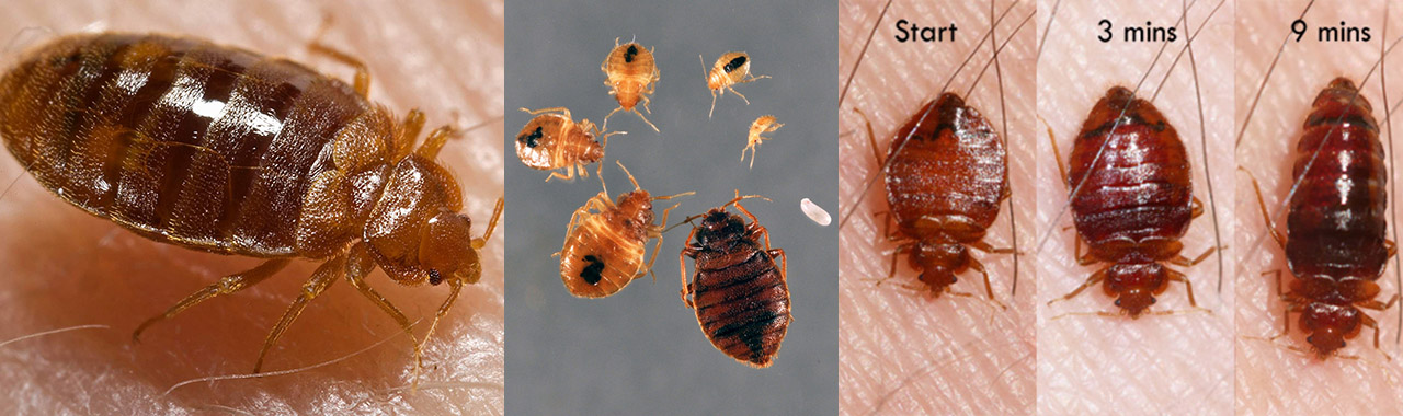 Bug Bugs Pictures Find Out What Bed Bugs Look Like